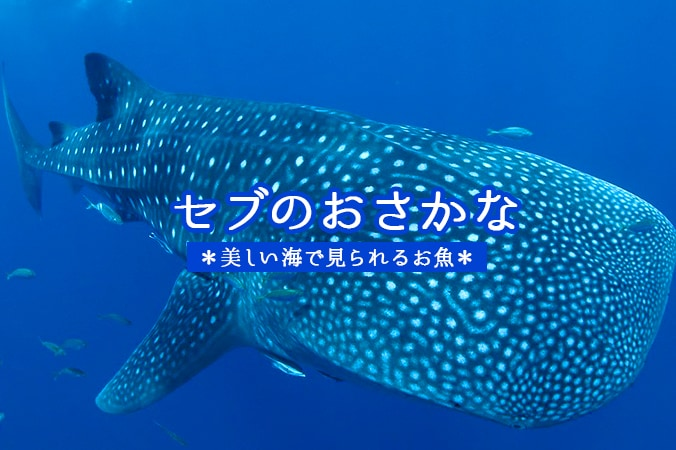 セブのおさかな美しい海で見られるお魚