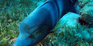 カンムリベラ (成魚)
